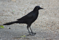 Vibrant Blackbirds, Meet the Grackles