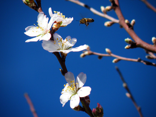 A bee buzzing around an almond tree flower in our garden.