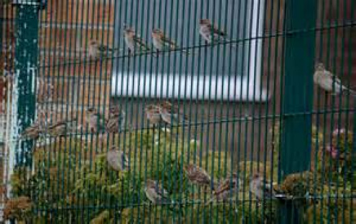 Sparrows on fence surrounding vegetable garden