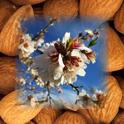 Flowers of the almond tree are like white snow on a summers day.