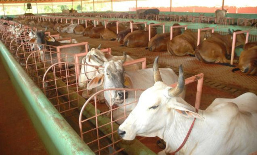 The cows are taken good care in Kosalai