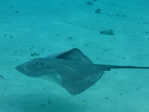 Sting rays are so friendly they're called the dogs of the sea