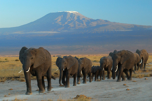 """Elephants at Amboseli national park against Mount Kilimanjaro"" by Amoghavarsha amoghavarsha.com - Own work. Licensed under CC BY-SA 3.0 via Commons - https://commons.wikimedia.org/wiki/"