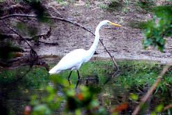 The Great White Egret - Interesting Facts and Information
