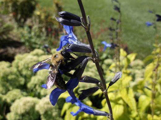 The hummingbirds never bother with the dozens of Bumble Bees that the Black and Blue Sage also attracts.
