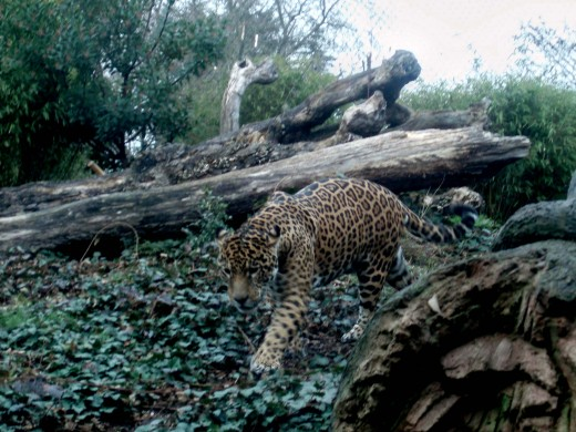Leopard advancing