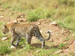 Leopard retreating