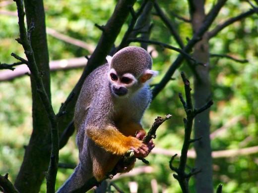 Scheming monkey