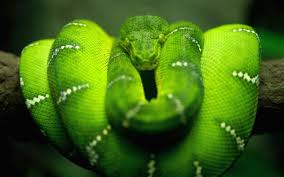 Green Tree Viper.  Often bites women working in tea plantations