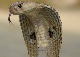 Indian Cobra:  Revered and not a major player in death count