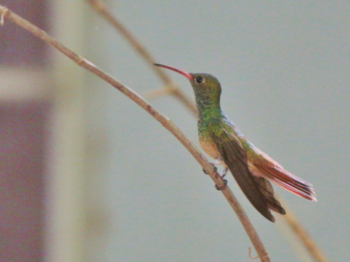 Buff Bellied Hummingbird sitting in the shade