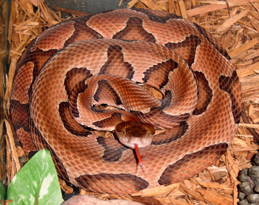 The attractive Copperhead