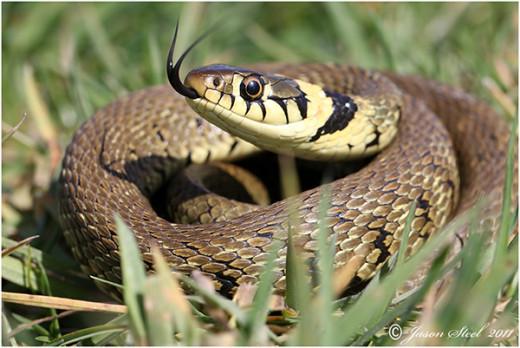 Common grass snake