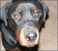 Causes of Nose Bleeds in Dogs
