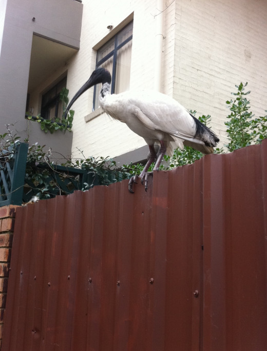 Ibis on a fence
