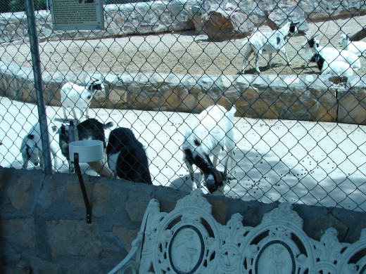 Goats at the Cattleman's Steakhouse Restaurant east of El Paso, Texas north of I-10