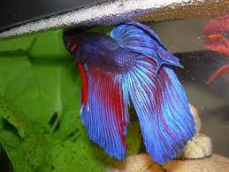 Betta Fish : Male