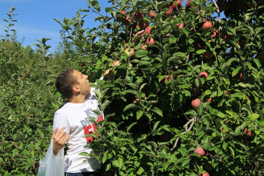 Apple picking at Behling Orchards, fun for the entire family. Are the top ones just out of reach really the juiciest?  :)  Zack. Have you taken your first bite yet of the freshest apples?