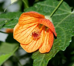 Abutilon, A-Z of plant genera {part 2.}