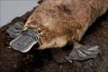 Platypus-Interesting facts