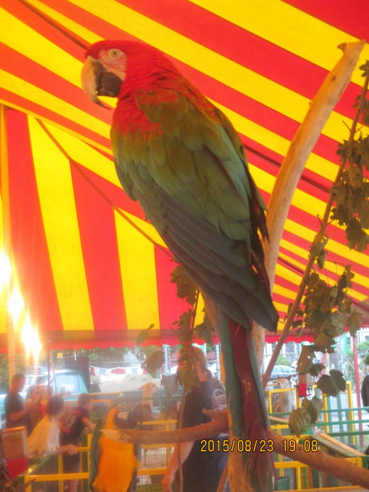Macaw on display at the Marshfield, MA Fair. - Photo by George Sommers