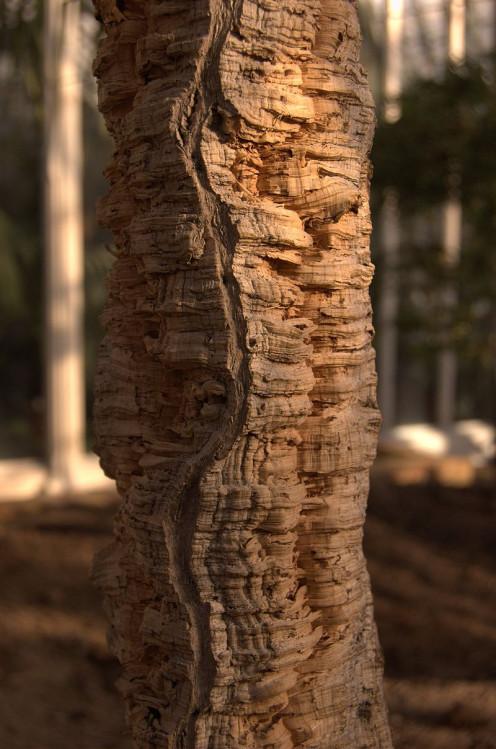 The Cork Oak Tree Bark