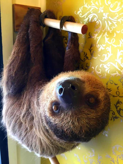 Mo, the two-toed sloth