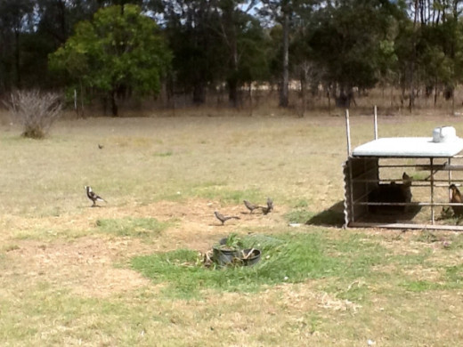 Lousy jacks and magpies trying to scavenge chicken seed