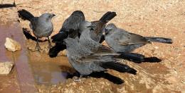 A flock of lousy jacks drinking