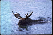 Moose swimming in Lake Superior