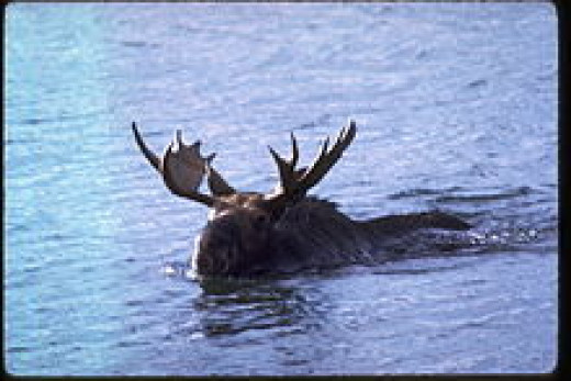 Moose swimming in Lake Superior