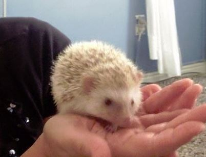 Autumn the hedgehog