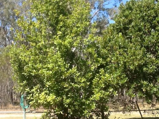 Macadamia Nut trees