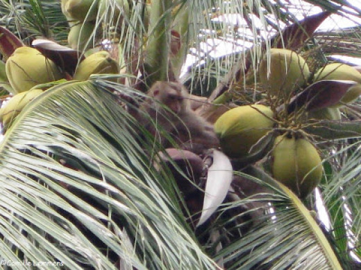"""Shitty monkeys live in the trees, and they love to eat these shitty-smelling coconuts"""