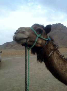 On of the top things to do in Morocco is visiting the camels and riding them in the desert.