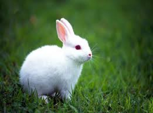 Indian White Rabbit