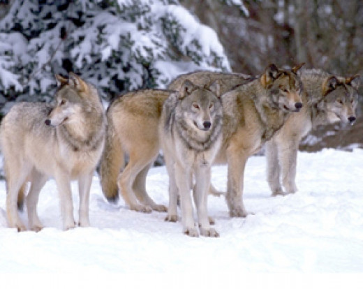 A wolf pack