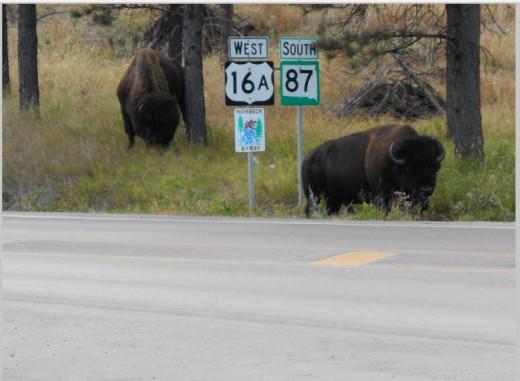 buffalo roam free