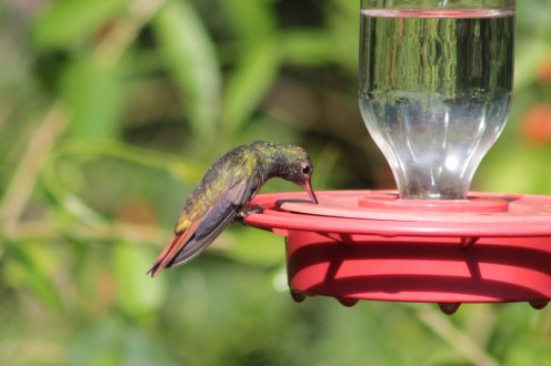 "Buff-bellied Hummingbird on a Best 1"""