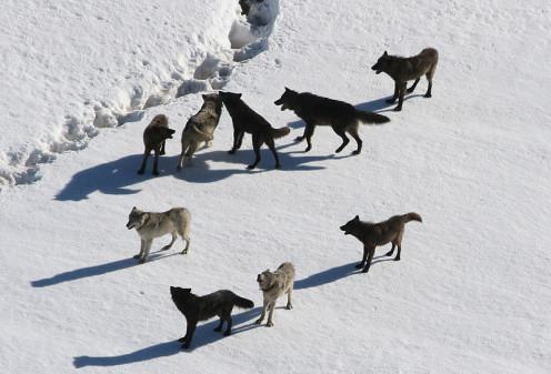 In the Snowy Wilderness  (By Doug Smith (Public Domain), via Wikimedia Commons)