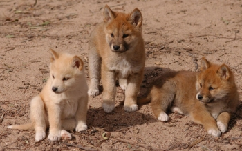 Picture Of Baby Dingos