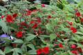 Achimenes, Achnatherum, Aciphylla, Acokanthera. A-Z of plant genera part-4