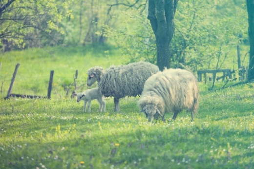 Sheep with lambs in a green field.