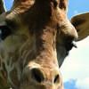 Puzzles Giraffe profile image