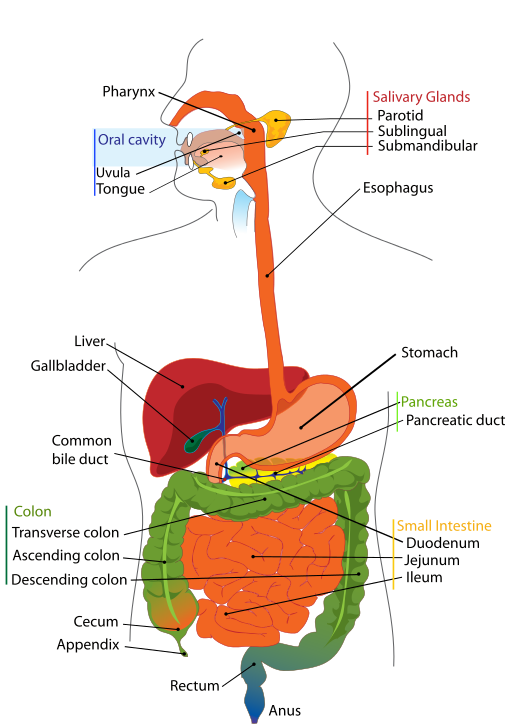 The digestive system of a human being