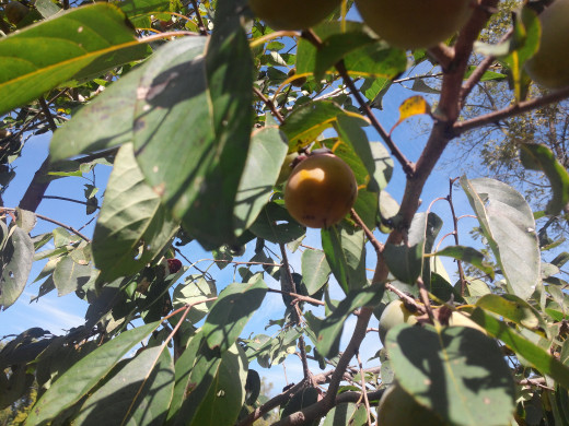 My young Persimmon tree is setting fruit this fall. Seed saved from strained flesh can be planted should I want more trees in my garden.