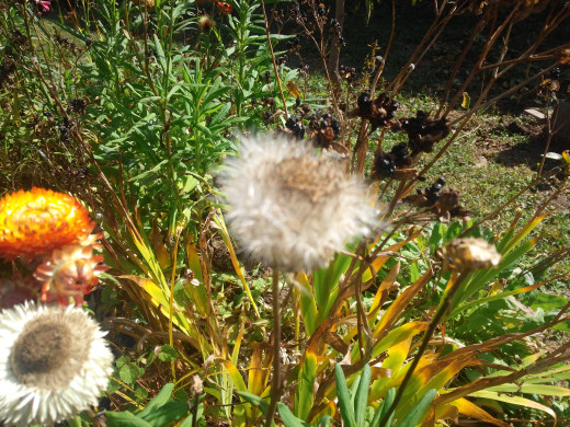 This Strawflower is about to puff up with ripened seed attached to lighter than air umbrellas to carry them great distances from the mother plant.