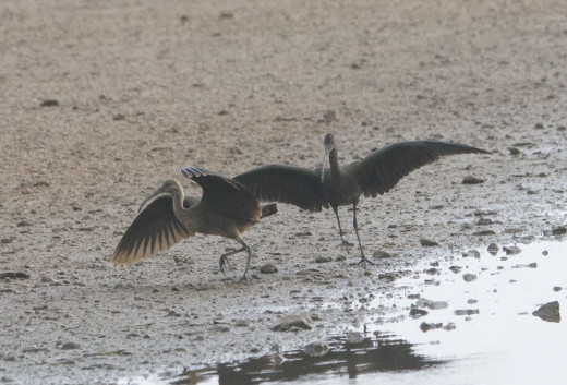 Young White-faced Ibises Dancing in Play