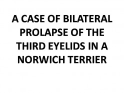 A case of bilateral prolapse of the third eyelids in a Norwich Terrier