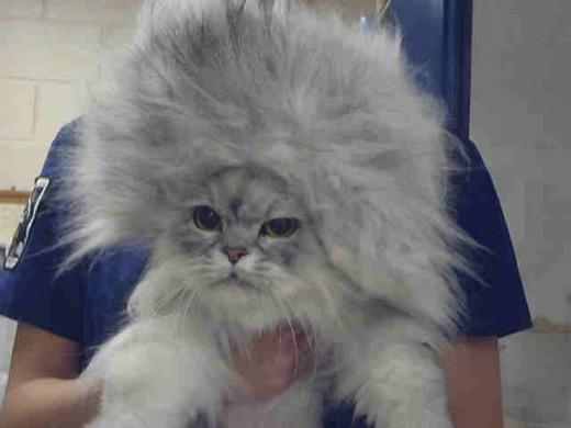 Wild cat hair